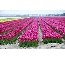 Dutch tulip field Photographic Print