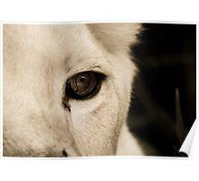 Lion Eye Poster