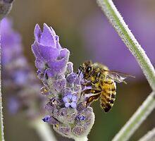 Bee on Lavender by Ross Jardine