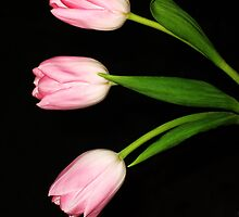 pink tulips by cynthiab