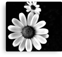 black and white photo of daisy  Canvas Print