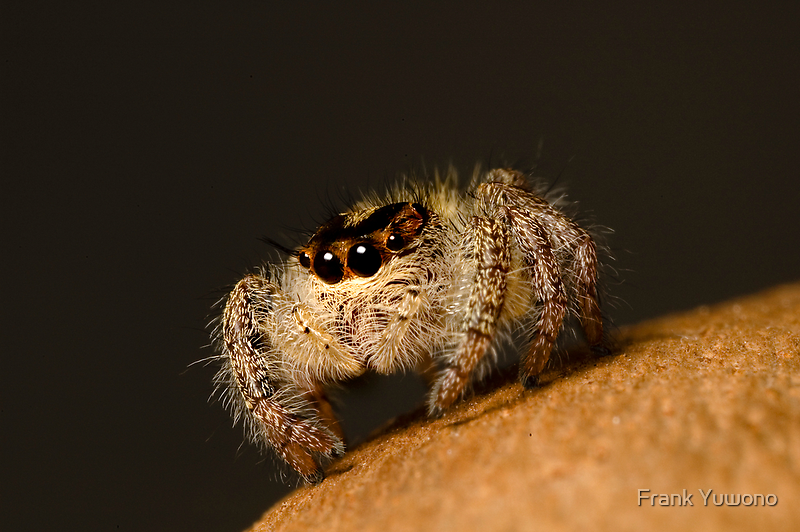 Jumping Spider by Frank Yuwono
