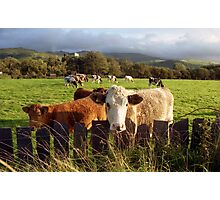 Cows of Llanfairfechan Photographic Print