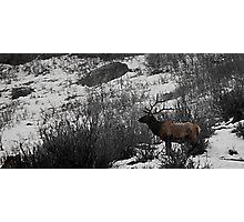 Majestic Bull Elk - Provo Canyon, Utah Photographic Print
