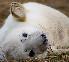 Seal Pup by ChrisMillsPhoto