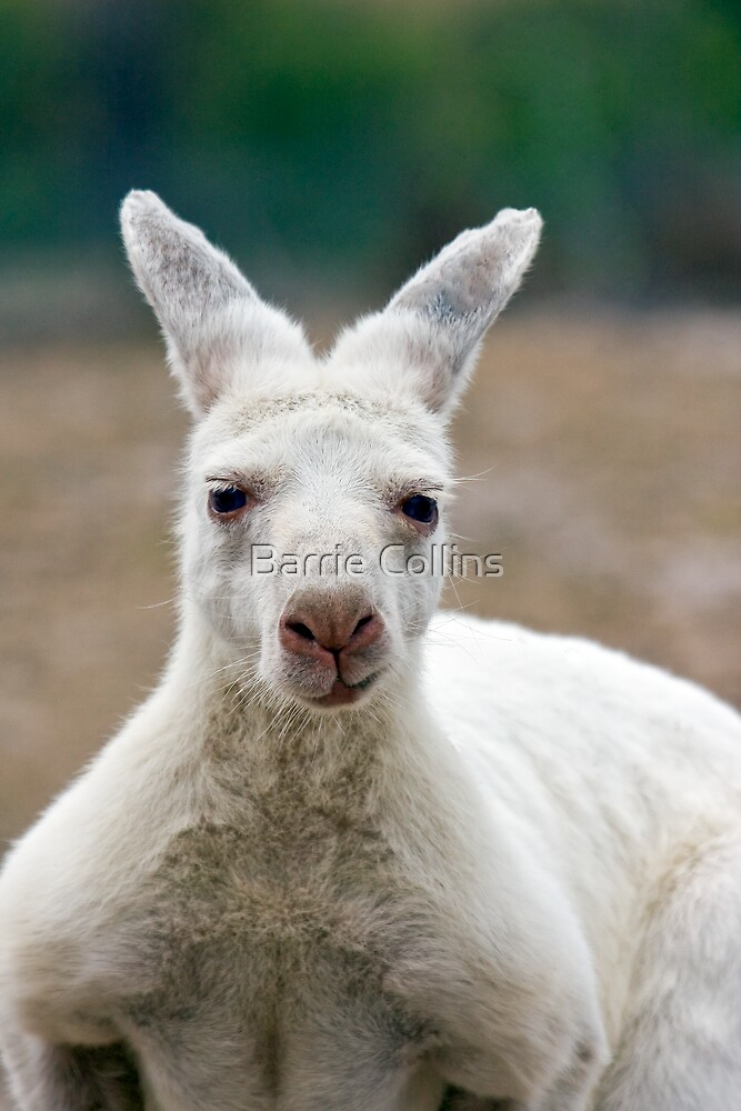 What do you mean I'm white! Aren't all Kangaroos white? by Barrie Collins