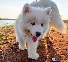 Samoyed puppy on the beach  by Curtox