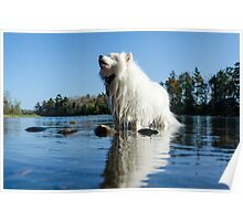 Howling Samoyed in the lake Poster