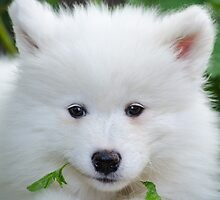 Samoyed puppy by Curtox