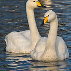 Whooper Swans by M.S. Photography/Art