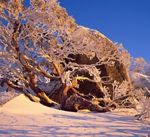 Icy snowgum by gerard