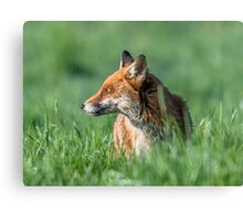 Wild Fox at Sunrise Canvas Print