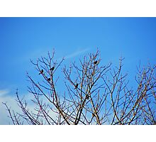 January Robins Photographic Print