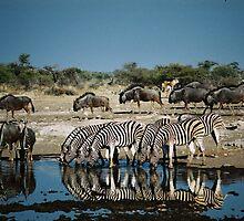 Zerbra drinking in mirror water by Bernhard Bekker