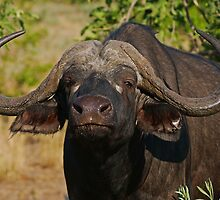 Cape Buffalo in the African Sun  by Bernhard Bekker