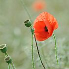 Poppy portrait by SpraggonPhotography