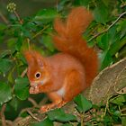 Red squirrel among ivy by lepreskil