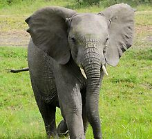 Young elephant charges at viewer  by PhotoStock-Isra