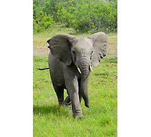Young elephant charges at viewer  Photographic Print