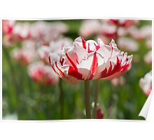 Tulips in Spring Poster