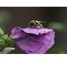 Pollination Photographic Print