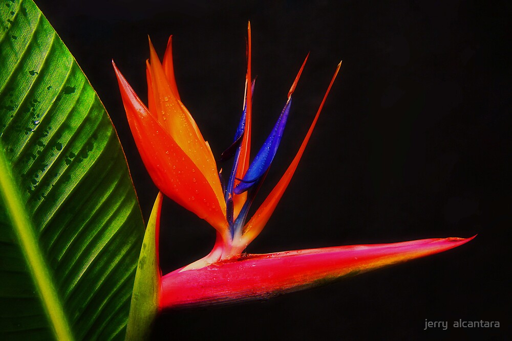 Birds of Paradise by jerry  alcantara