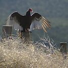 Turkey Vulture by Gene Praag