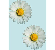 Two white daisies Photographic Print