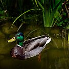 Mr. Mallard on the pond by Celeste Mookherjee