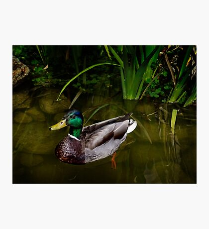 Mr. Mallard on the pond Photographic Print