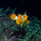 Clown fish on a sea of green by Stephen Colquitt
