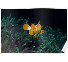 Clown fish on a sea of green Poster