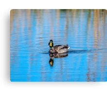 Wild Mallard Bathed in Blue Canvas Print