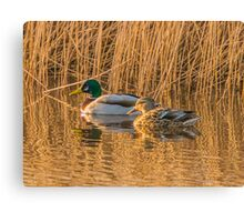 Mallard Pair Bathed in Golden Sunlight Canvas Print