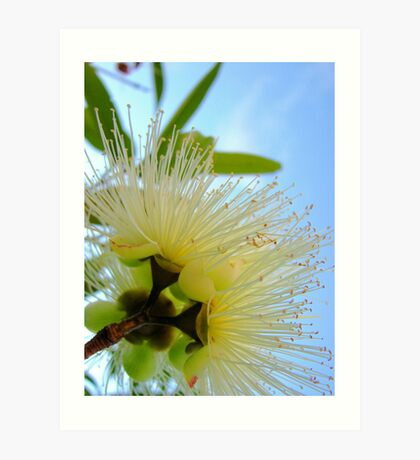 Flowering Eucalyptus Art Print