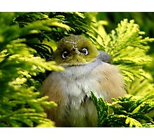 I'm Camouflaged In A Web!  - Silvereye - Wax Eye - New Zealand Photographic Print