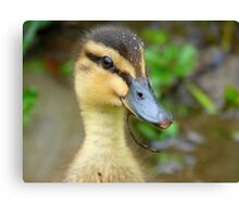 Have YOU Twigged On Yet? - Mallard Duckling - NZ Canvas Print