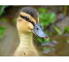 Have YOU Twigged On Yet? - Mallard Duckling - NZ Photographic Print