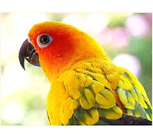 Surly! Not another Photo! - Sun Conure - NZ Photographic Print