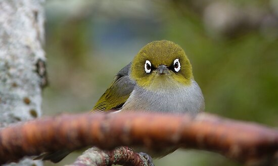 What now! Silvereye - NZ - Southland by AndreaEL