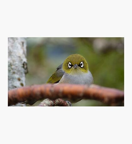 What now! Silvereye - NZ - Southland Photographic Print