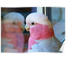Mirror Mirror on the wall... Galah - NZ - Southland Poster