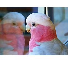 Mirror Mirror on the wall... Galah - NZ - Southland Photographic Print