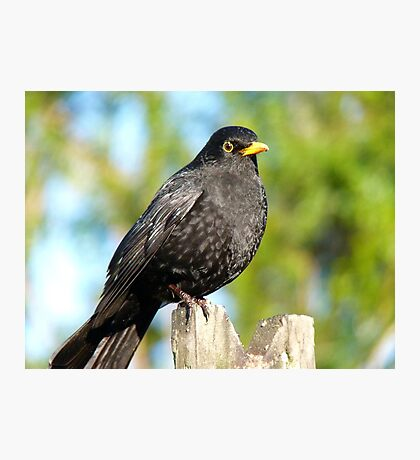 I'm An AllBlack!! - Blackbird - NZ Photographic Print