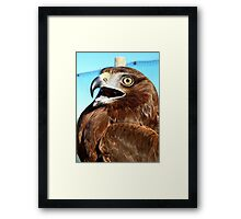 All I Need Is Time... Horatio - Harrier Hawk - NZ Framed Print
