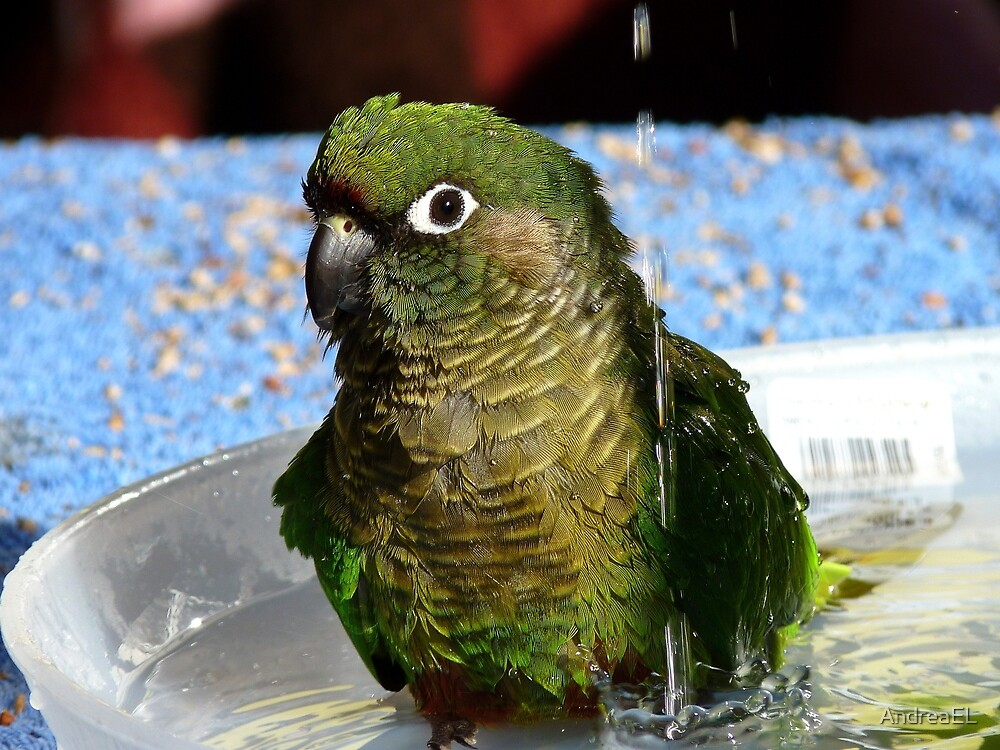 Surf's Up! - Maroon Bellied Conure - NZ by AndreaEL