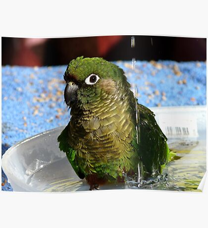 Surf's Up! - Maroon Bellied Conure - NZ Poster