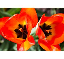 Anatomy of a Tulip: Double Trouble Photographic Print