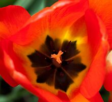 Anatomy of a Tulip: Orange Squared by Megan Campbell