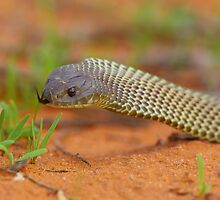 Spotted Brown Snake by Michael Ellem